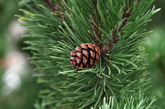 Pine oil for sauna