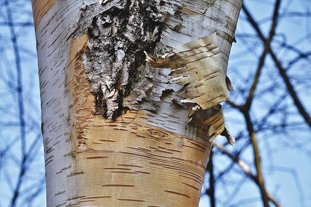 Birch oil for sauna
